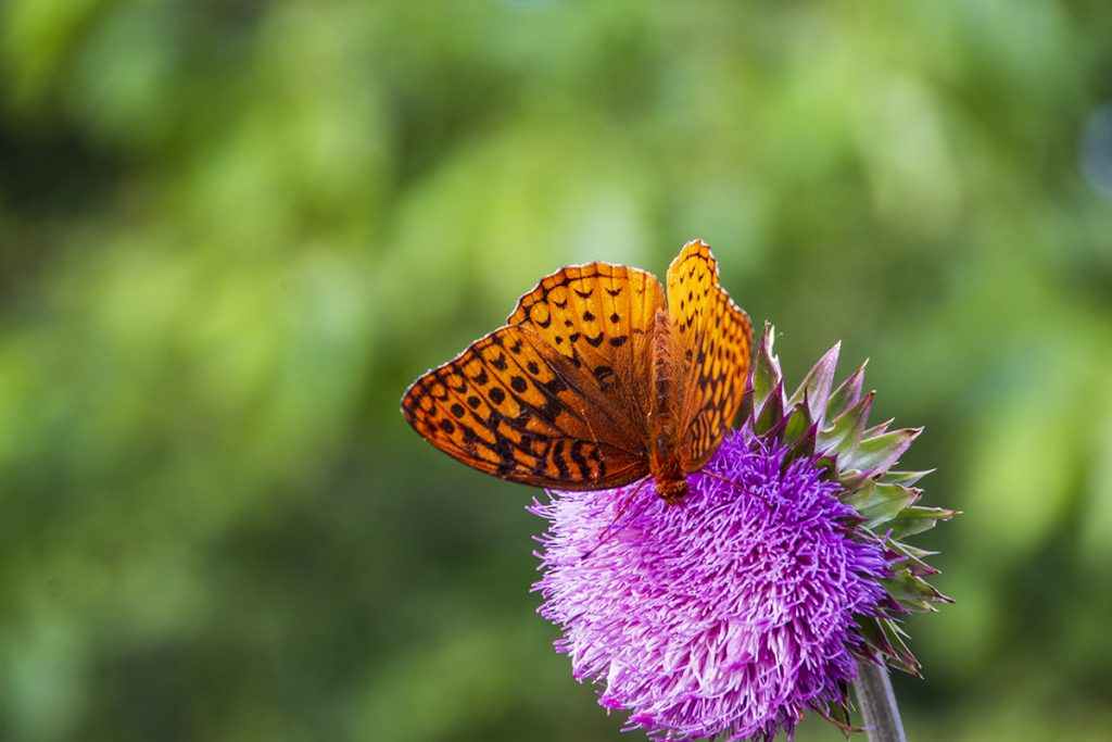 Thistle Flower with butterfly