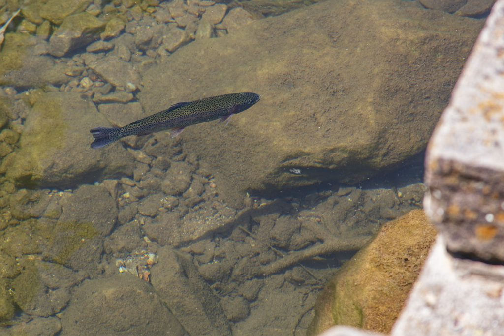 Roaring River State Park trout