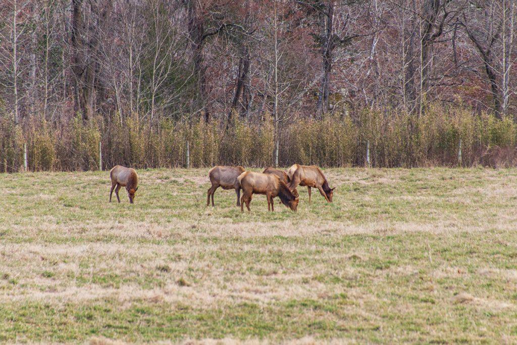 Elk grazing in Boxley Valley