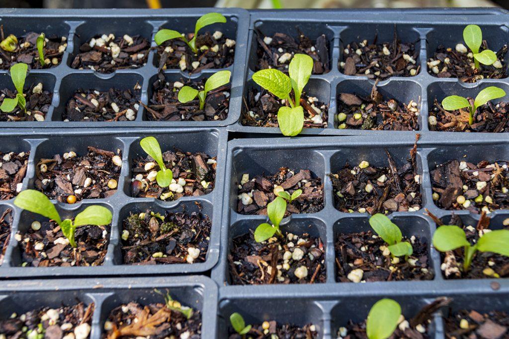 sprouting burdock seeds