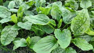 Fresh green leaves of plantain