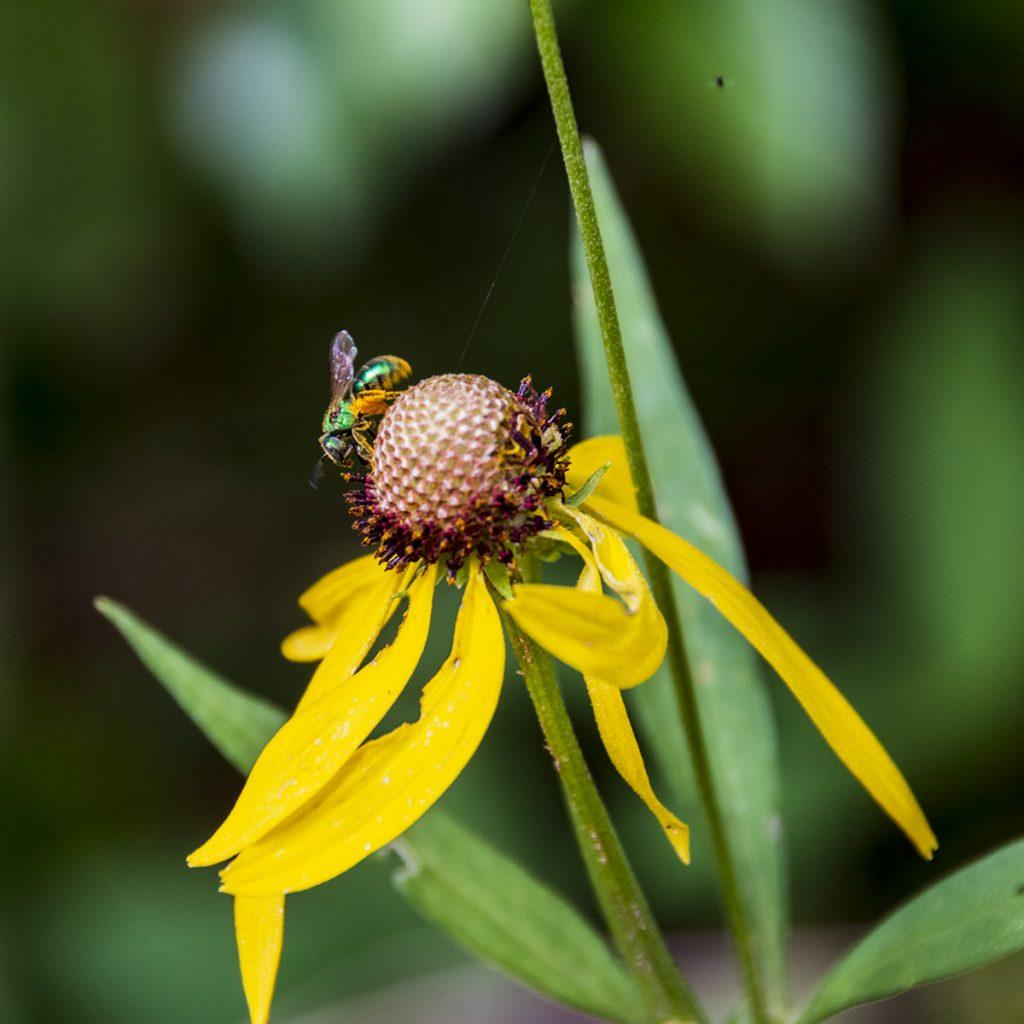 Metallic bee on pinate prairie coneflower