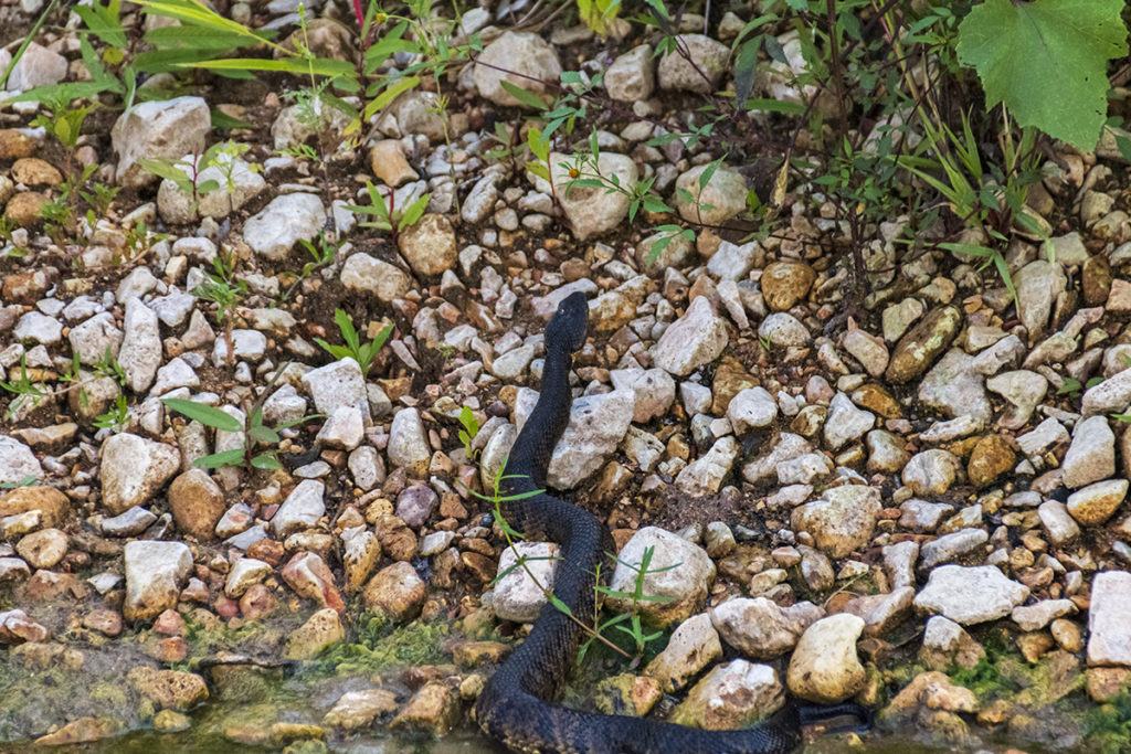 Moving to the ozarks cottonmouth